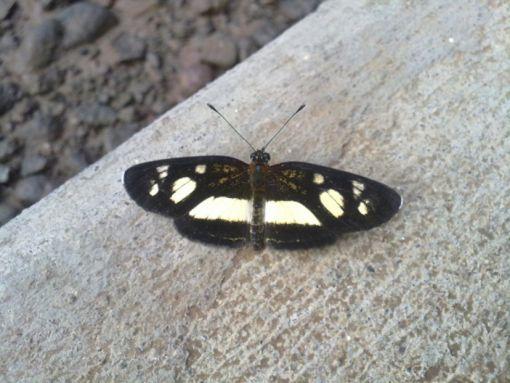 Mariposa Eresia clara, (No zoocriada)   Foto. C.Puchi. ACTo